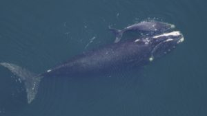 North Atlantic Right Whale and Calf (Photo: NOAA)