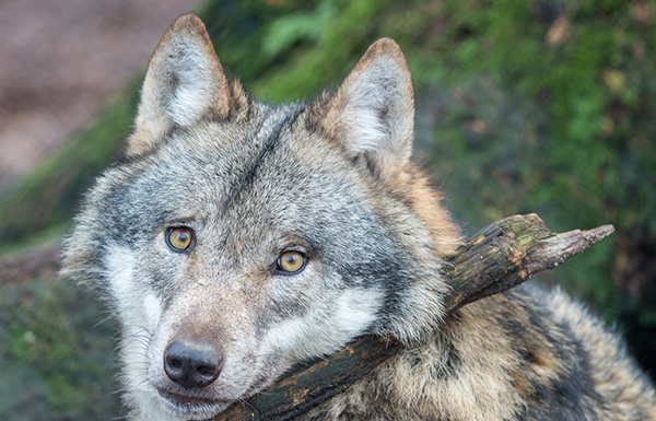 Protect Gray Wolves