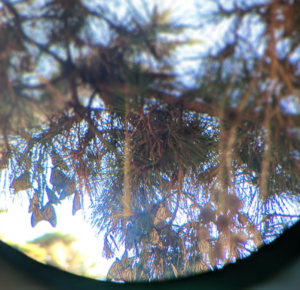 Monarch butterflies through a telescope
