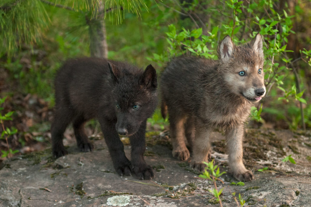 Baby wolves in the forest.